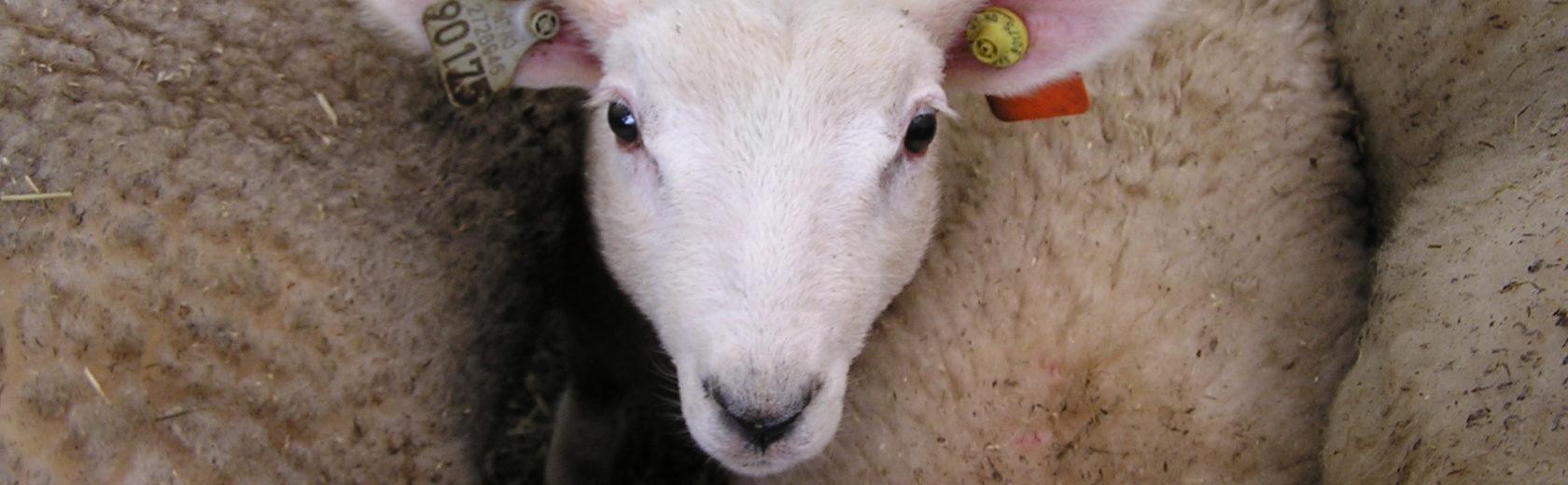 mouton agneau