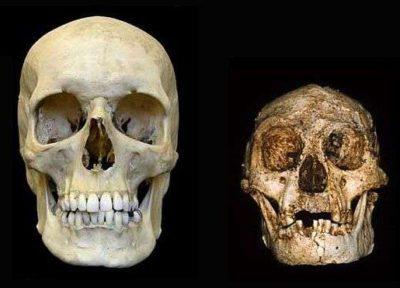 Crâne humain contemporain et l'Homme de Florès