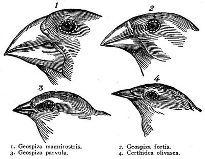 Pinsons des îles Galápagos
