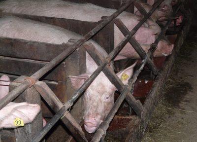 élevage porcs
