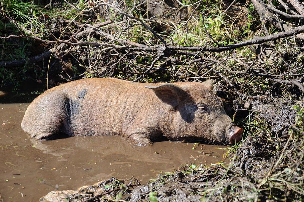 vie d'un porc