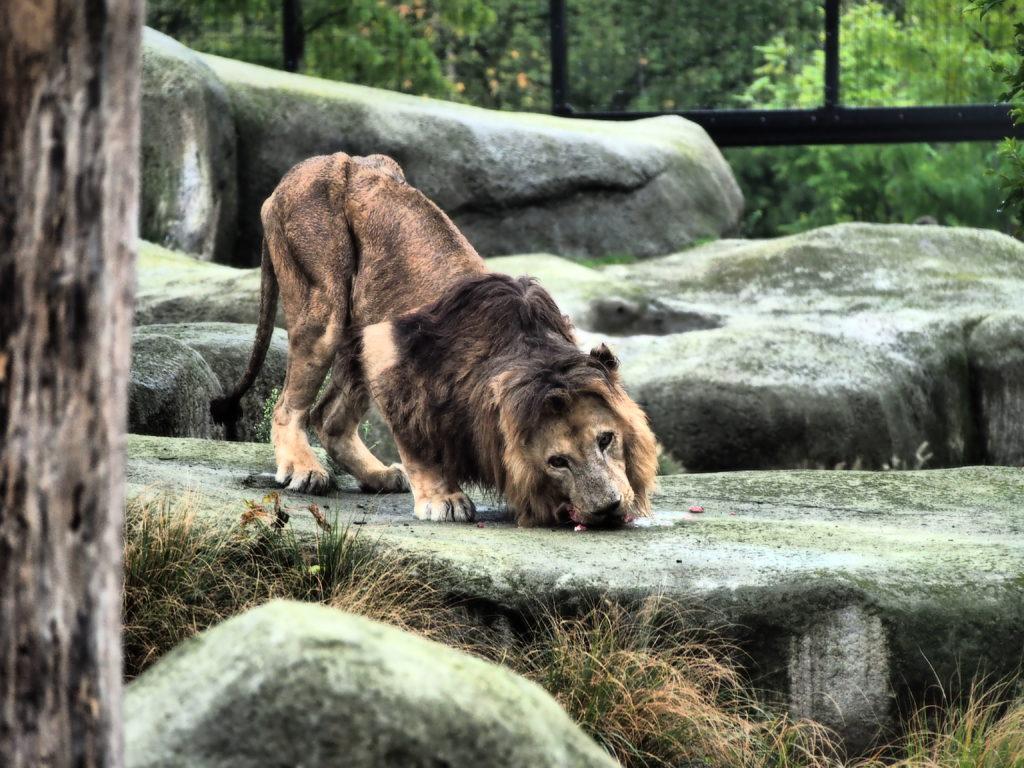 zoo paris lion