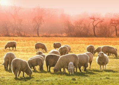 mouton troupeau