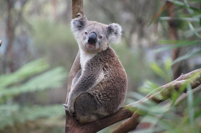 Koala, liste rouge des espèces menacées