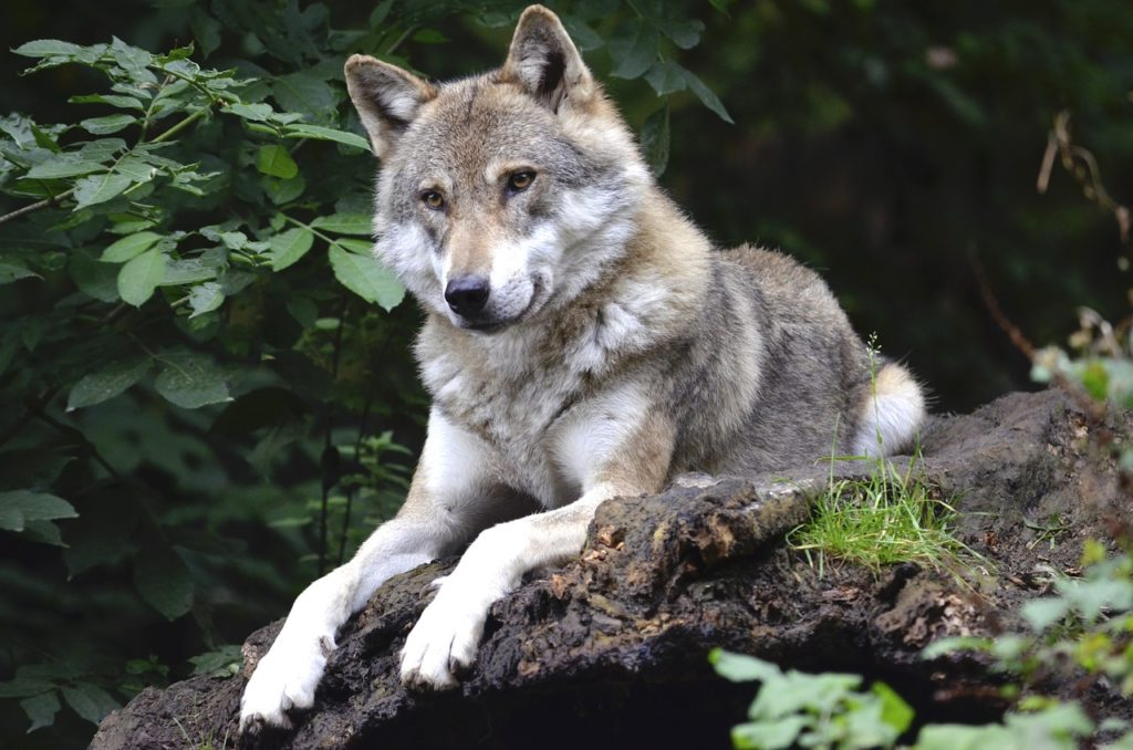 prédateurs, loup