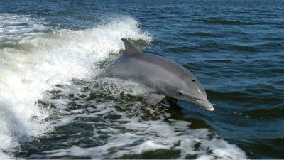 dauphins espèces en danger