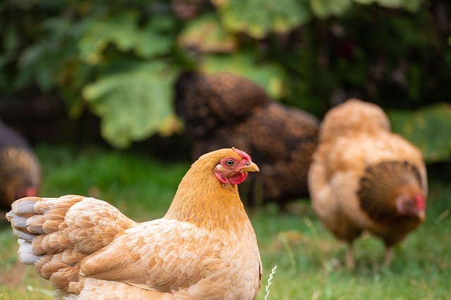 étiquetage bien-être animal poules