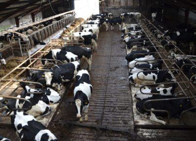 Elevage vaches laitières