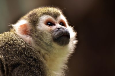 Le capucin, petit primate de la famille des cébidés