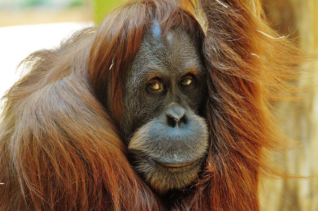 Orang-outan, liste rouge des espèces menacées