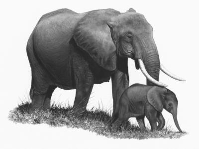 Éléphante + éléphanteau