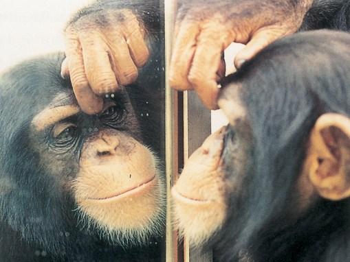 test miroir chimpanzé