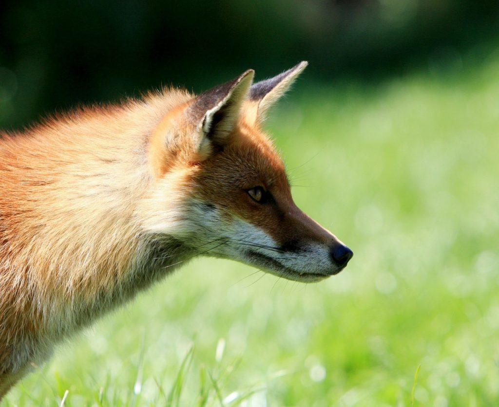 fox renard animal sauvage