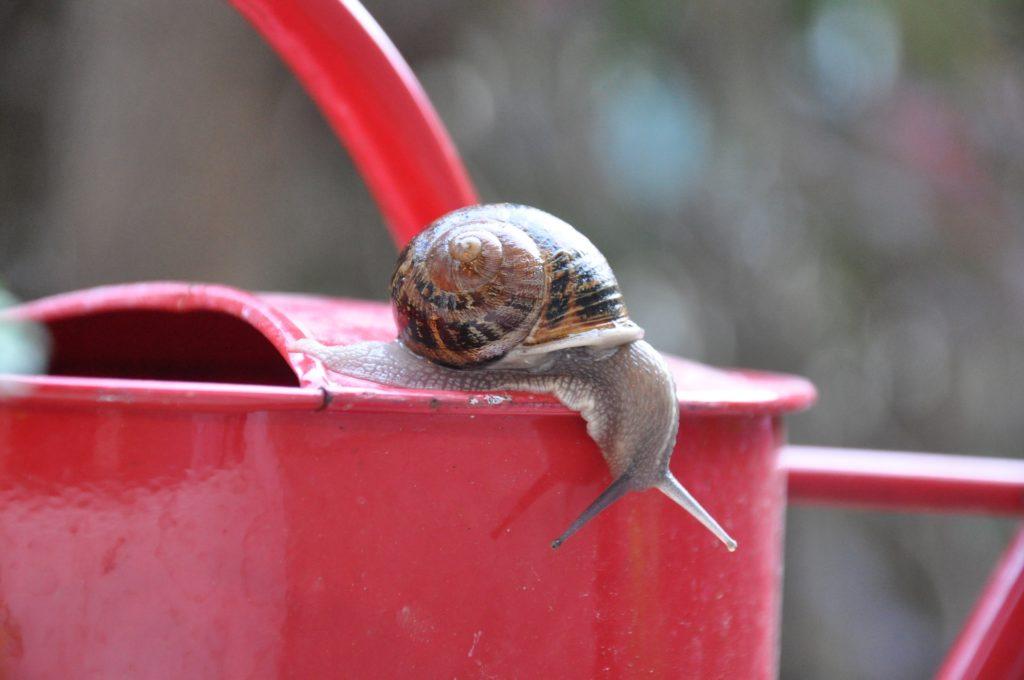 escargot sur un arrosoir