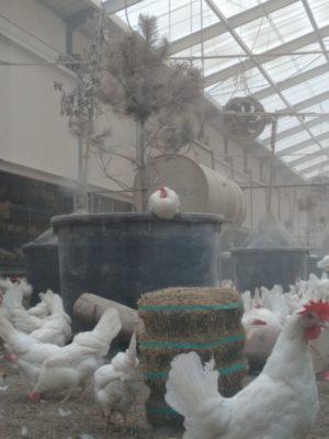 Ferme Kipster poule