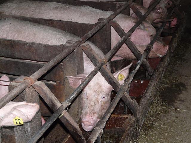élevage cochons
