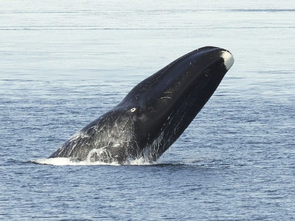 baleine boréale, communication animale