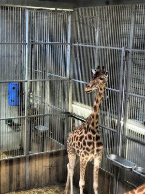 girafe parc zoologique paris
