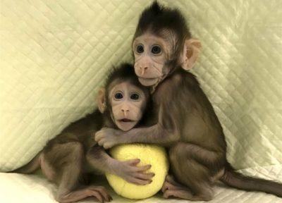 clonage macaque