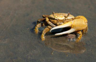 Crabe violoniste Uca pugilator, communication animale