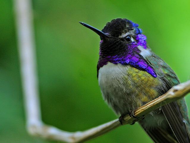 colibri de costa, communication animale