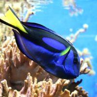 poisson chirurgien bleu, pêche au cyanure