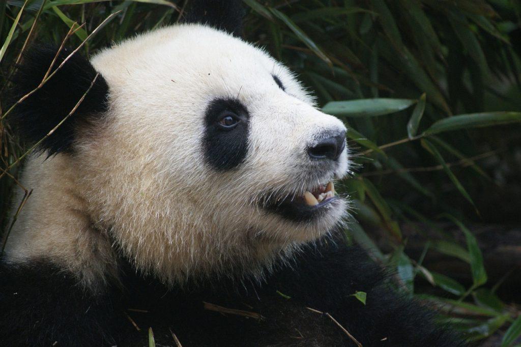 Panda, liste rouge des espèces menacées