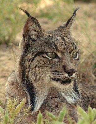 Lynx espèces en danger