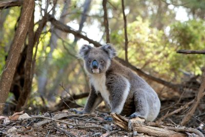 Koalas espèces en danger