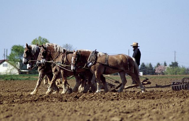 Chevaux travaillant sur un terrain agricole, sous la supervision de l'agriculteur