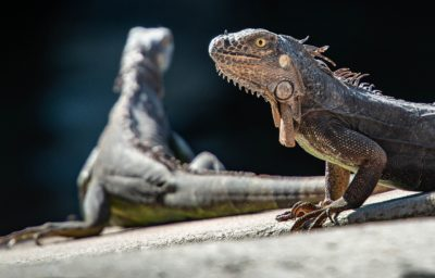 Iguanes - CP Nac