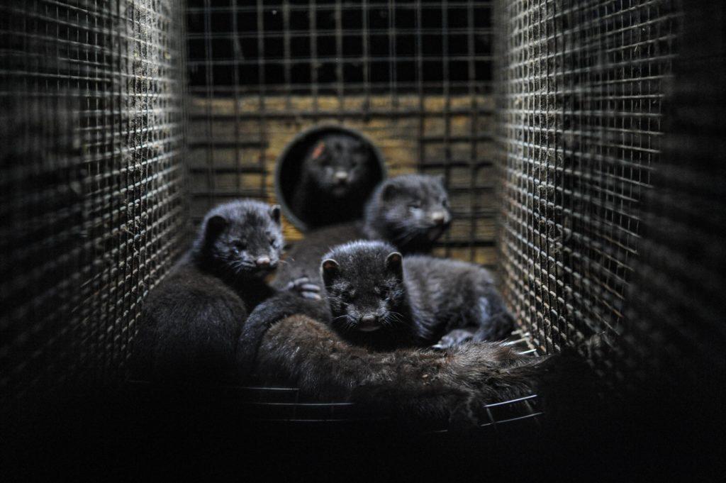 Plus de visons victime de l'industrie de la fourrure dans 2 ans