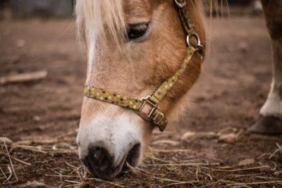 La loi sur la maltraitance animale interdit les carrousels à poneys