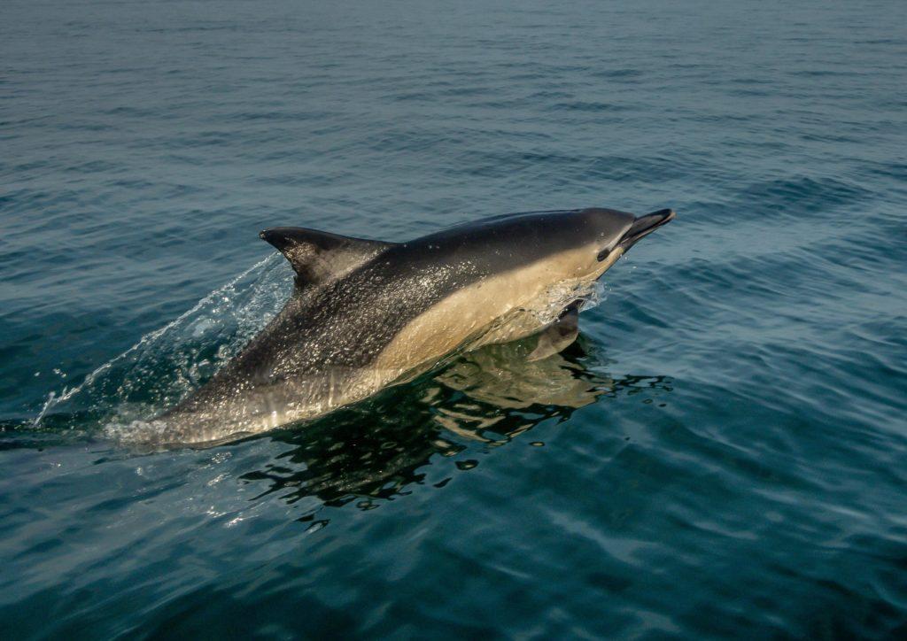 Les dauphins communs sont les principaux cétacés échoués sur les côtes françaises