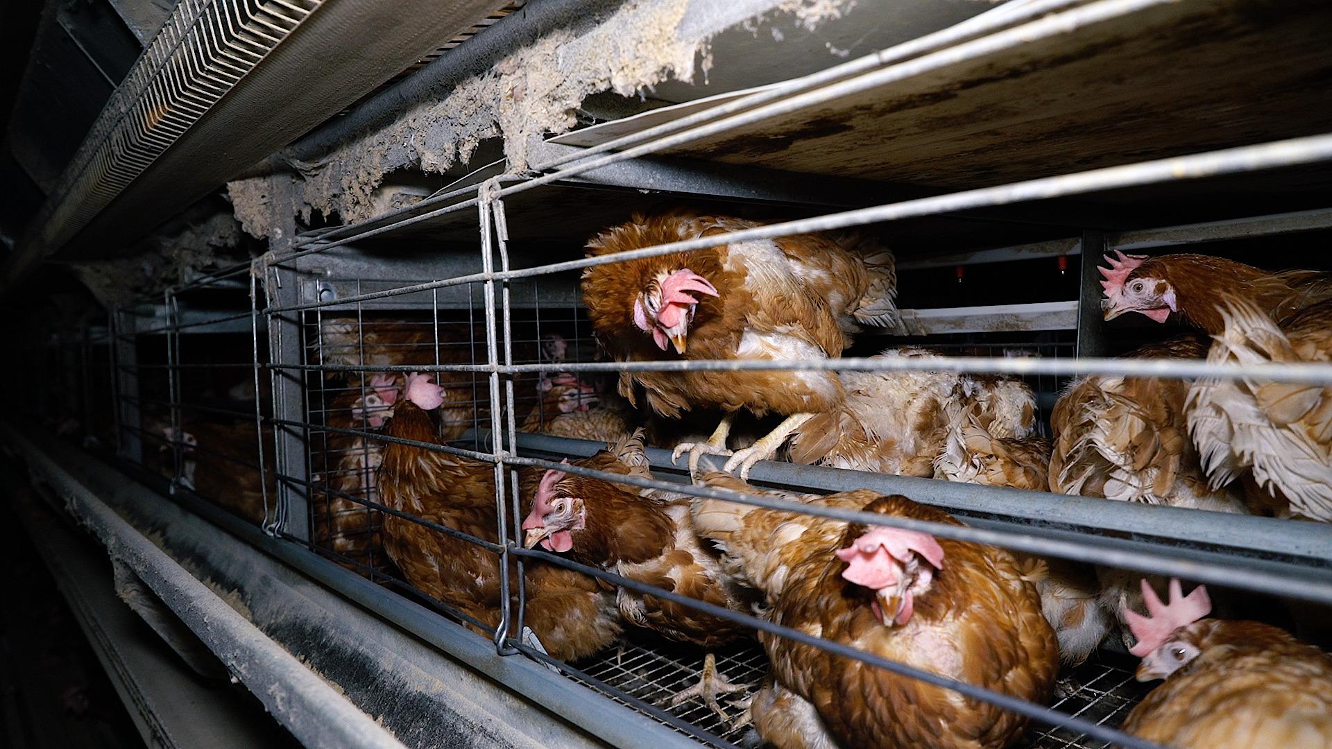 Poules en cages filmées par L214