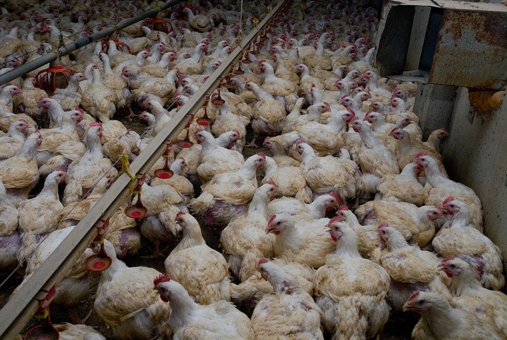 Poulets de chair en élevage standard